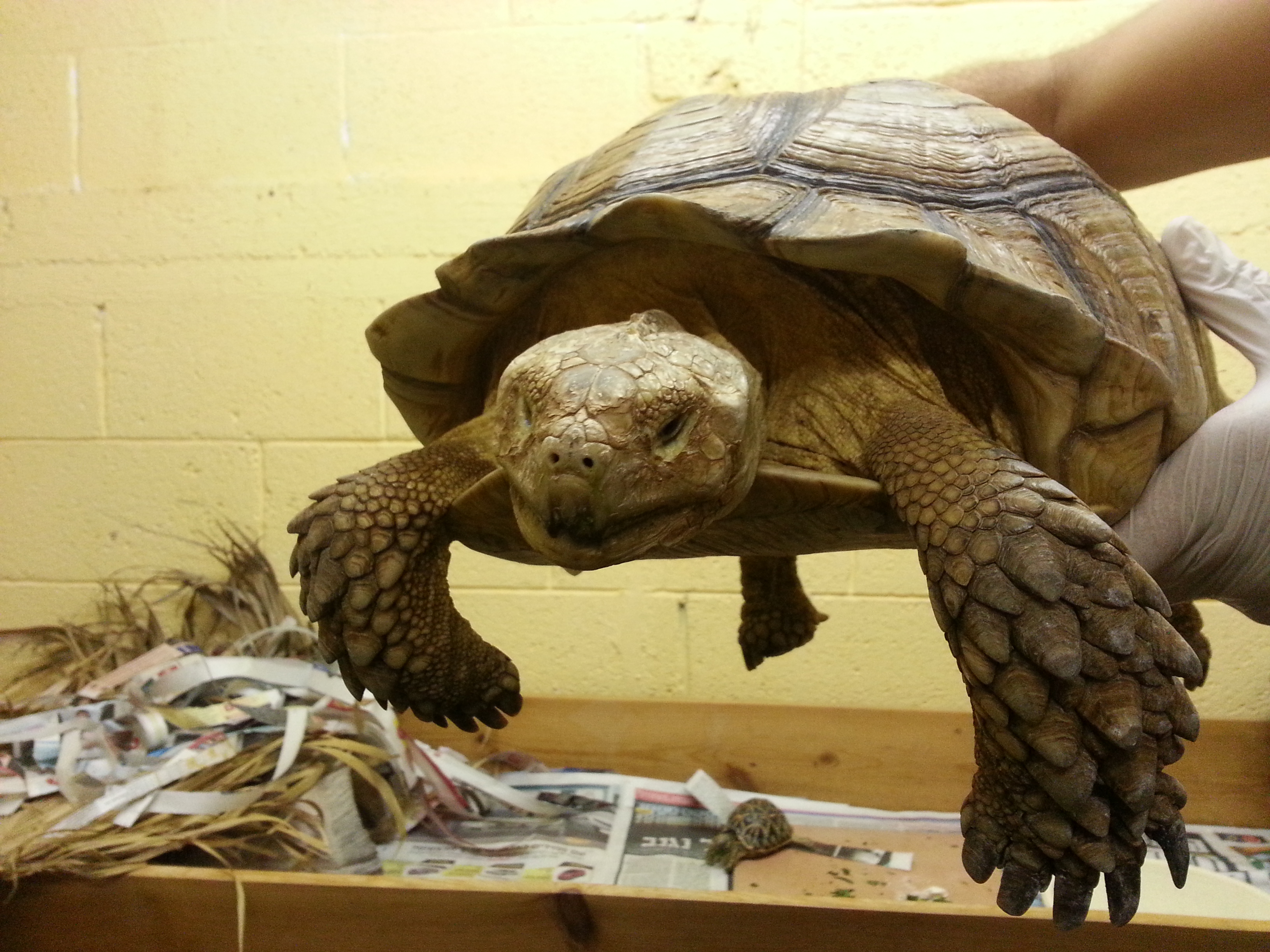 Centrochelys sulcata   The International Center for Tortoise ...